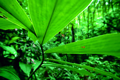 The spiral stair case arrangement of the leaves of a wild ginger (Genus Costus) avoids self shading in the dark understory of the rain forest, Barro Colorado Island, Panama. Photo copyright Christian Ziegler.