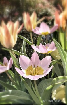 Lily Flowering Tulips