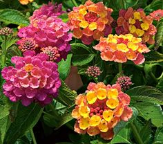 Lantana Landmark™ Rose Sunrise  A mounding annual that heat tolerant, has scented foliage, and attracts butterflies and hummingbirds. Ideal for large group plantings, but Rose Sunrise also looks lovely in a hanging basket, where its brightly colored dark rose-pink and yellow blossoms over deep green foliage can be appreciated up close. Prune back Lantanas after the first flush of flowers to shape them and prompt the formation of more buds.