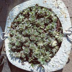 Granadillaさんの、観葉植物,ベランダ,ガーデン,多肉,多肉植物,モノトーン,ベランダガーデン,ジャンクガーデン,リメイク鉢,のお部屋写真