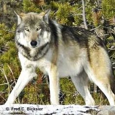 In Idaho, over 400 wolves have been eliminated since Congress delisted wolves in the Northern Rockies. Take action now!