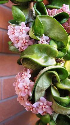 hoye.........le fioriture del 2012 - Pagina 12 - Forum Giardinaggio Rosmarie - Hoya Compacta