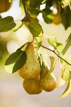Pears in golden light