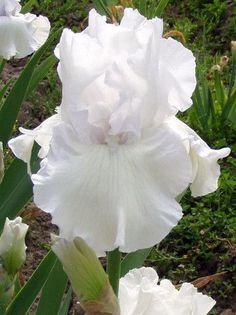 Got Milk - Sutton's Iris Garden