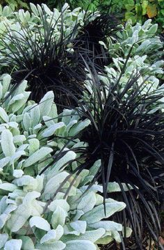lambs ear and black mondo grass or could use black begonias