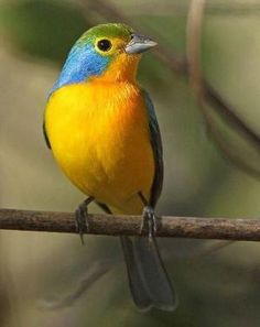 Orange-breasted Bunting, endemic to Mexico.