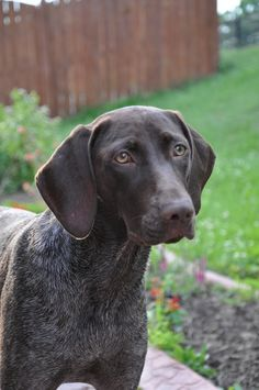 German Short haired Pointer. The most beautiful dog!