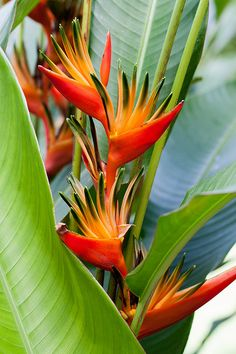 heliconia St Lucia Flower - Bird of paradise Exotic Plants, Exotic Flowers, Tropical Flowers, Purple Flowers, Tropical Paradise, Tropical Garden, Tropical Plants, Wonderful Flowers, Beautiful Flowers