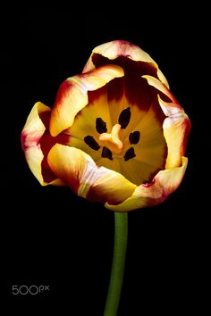tulip yellow and red -