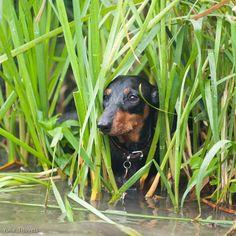 Doxie hiding in grasses.