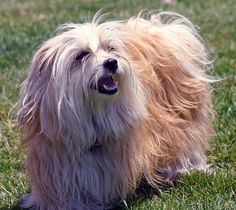 can a curly havanese be kept long haired? Havanese Dogs, Shih Tzu Mix, Dog Park, New Puppy, Dog Life, Dog Breeds, Dogs And Puppies, Curly, Long Hair Styles