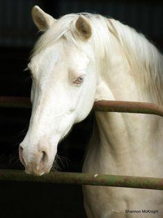 Outbacks Sir Zanza; 2007 perlino Section B Welsh Pony stallion (Little Boy Blue CS x Tide Creek Sugarbaby)