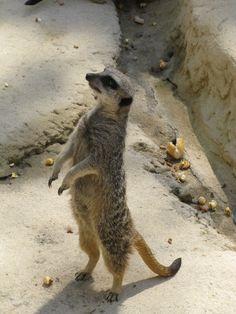 Suricate du zoo de La Palmyre | Pays Royannais Charente-Maritime Tourisme #charentemaritime | #zoo | #LaPalmyre | #animaux