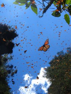 """Monarch Butterfly Migration in Mexico, a Journey Above All Natural Laws"" • The author writes, ""Considered one of the world's most intriguing natural mysteries, the Monarch Butterfly Migration from Canada to Mexico is an annual event that unites billions of butterflies. So if this happens to be your unexplored passion, here is a journey that is above any natural law and a place to enjoy butterflies every step of the way."" • by TOTE"