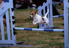 Dog agility Jack Russell Terrier photo