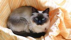 ragdoll-cat11