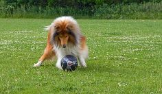 Collie, Rough Collie, Hond, Huisdier