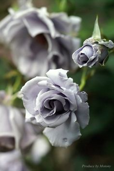 'Early Grey' Rose ~Light Silver w a hint of Lavender center
