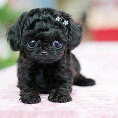 Adorable black little puppy.. Follow the pic for more awww