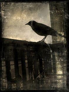 jack barnosky: black crow 3 on Flickr.