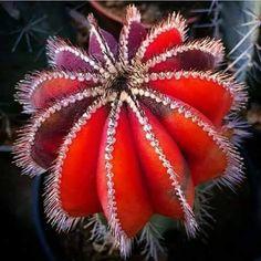 Uebelmannia pectinifera, variegata