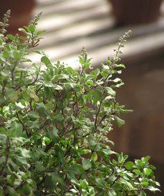 Shop organic Rama holy basil at Mountain Rose Herbs. Rama tulsi, Ocimum tenuiflorum, is a widely cultivated tulsi holy basil varietal in India and is usually infused as holy basil tea.