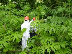 Giant Hogweed is truly the plant of nightmares. While many plants are toxic by ingestion, Giant Hogweed causes horrendous damage to humans just by mere skin contact.