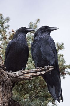 "Happy Crow Pair ""watchin' out""! by Marlin Harms"