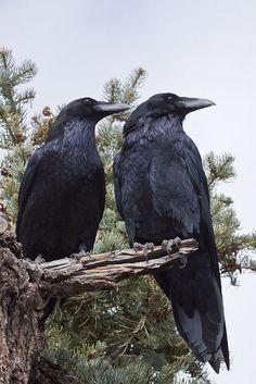 Common Raven Corvus corax Pair | Flickr - Photo Sharing!