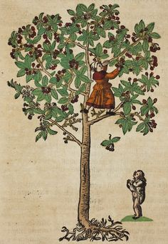 Hieronymus Bock (1498-1554)  German botanist. His 1546  herbal had 550 woodcuts by David Kandel. Cherry Tree