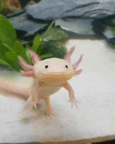 Axolotl Pet, Axolotl Tank, Beautiful Sea Creatures, Cute Creatures, Animals Beautiful, Cute Little Animals, Cute Funny Animals, Cute Dogs, Cute Animal Photos