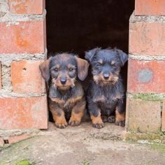 """""""We've lost our way...would you please take us home?""""  Click on these cute #Dachshund #puppies to see more pinworthy #dog pics"""