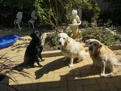 Two Australian Seeing Eye Dogs Bess & Jagger with Mariah