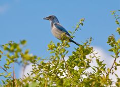 A Florida Scrub Jay perches on a branch at Oscar Scherer State Park in Osprey, FL.