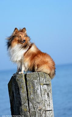 The sheltie dramatically poses in the wind... I have never met a sheltie that doesn't pose for a picture.