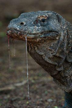 Komodo Dragon... with drool.