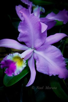 Exotic orchid collections featuring new hybrids, rare specimens,variegated combinations, unusual colorations of orchid flowers. Unusual Flowers, Rare Flowers, Types Of Flowers, Amazing Flowers, Purple Flowers, Beautiful Flowers, Orchid Flowers, Tropical Flowers, Hawaiian Flowers
