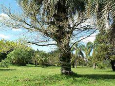 raizestranguladora - erênquima muito desenvolvido. Encontra-se em plantas de mangue situadas ao nível de marés.