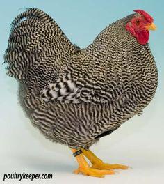 chicken breeds with photos | Wyandotte Chickens | Chicken Breeds