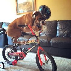 My Tessa would be freeking out with her first paw on the bike! Boxer Bulldog, Boxer Puppies, Dogs And Puppies, Doggies, Pug, Boxer And Baby, Boxer Love, Boxers, Lesser Dog