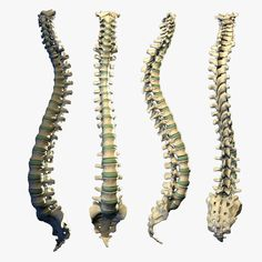 human spine 3d models | anatomy & physiology | pinterest | 3d, Skeleton