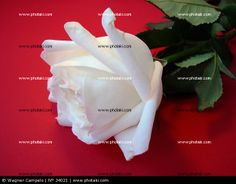 http://www.photaki.com/picture-white-rose-on-red_34021.htm