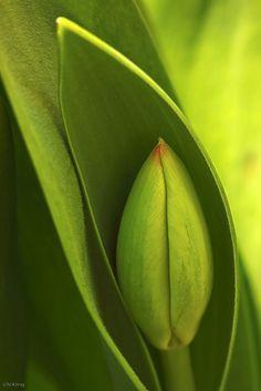 un bouton de tulipe