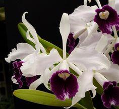 Orchid Laelia Purpurata Var Schusteriana | Laelia purpurata 'Schusteriana' (4N)