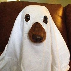 DIY Dog Halloween Costumes - Make your own Halloween costume for your dog - ghost dog costume - quick and easy last minute dog costume Dog Ghost Costume, Diy Dog Costumes, Pet Halloween Costumes, Ghost Costumes, Costume Ideas, Dachshund Costume, Ghost Costume Sheet, Halloween Halloween, Animal Costumes