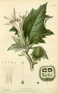 Datura stramonium ~ The flora homoeopathica : London :Leath & Ross,1852-1853.