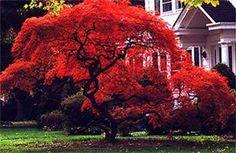 Sementes De Acer Palmatum Para Mudas Bonsai Ou Árvore