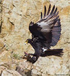 Black Eagle with prey. Photo by Andre Demblon Eagle Feathers, Bird Feathers, Raptors, Black Eagle, Wild Creatures, Exotic Birds, Birds Of Prey, Bird Species, Parrots