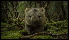 Wombat, Weindorfer Forest, Cradle Mountain Tasmania Australian Bush, Australian Animals, Cradle Mountain Tasmania, Wombat, Extinct, Wild Ones, Woodland Animals, Brown Bear, Polar Bear