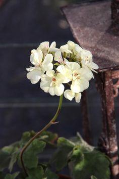 Pelargonium 'French vanilla'